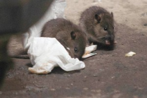 Rats tuck into some discarded food