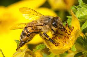 bee vaccination