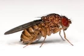 picture of drosophila fly