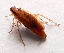 signs of cockroaches: german cockroach